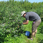 Blueberry picking! My favorite!